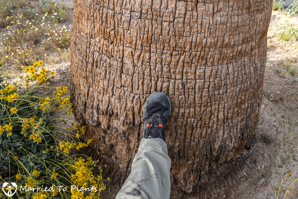 Washingtonia filifera Trunk in Anza-Borrego
