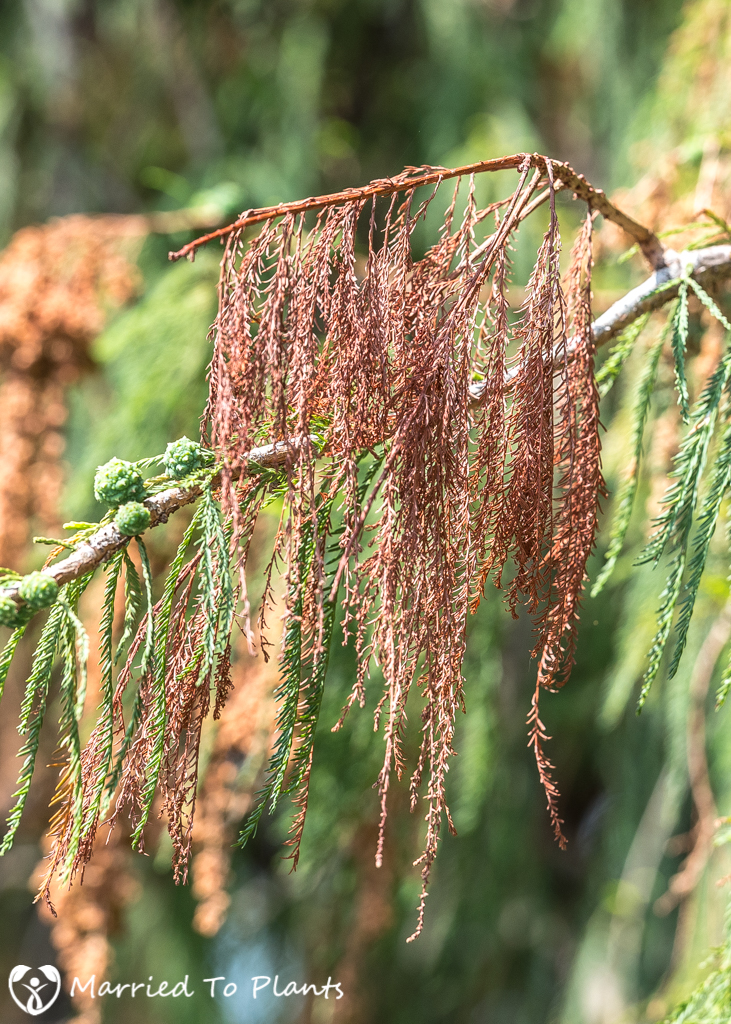 Arbol del Tule Dead Leaf Tips