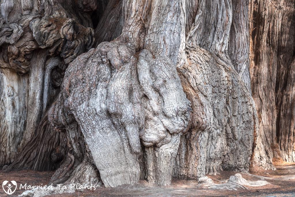 Arbol del Tule Elephant