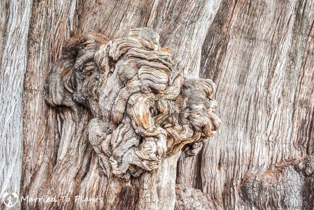 Arbol del Tule Lion