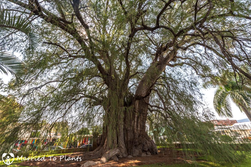 Arbol del Tule Sister Tree