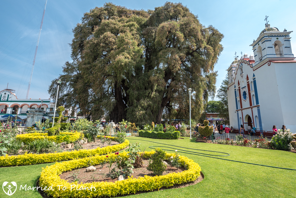 Arbol del Tule with Church
