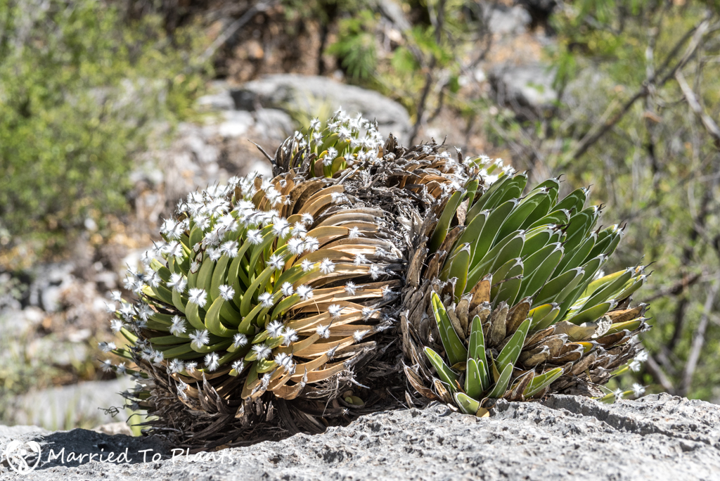 Huasteca Canyon - Agave albopilosa and Agave victoriae-reginae