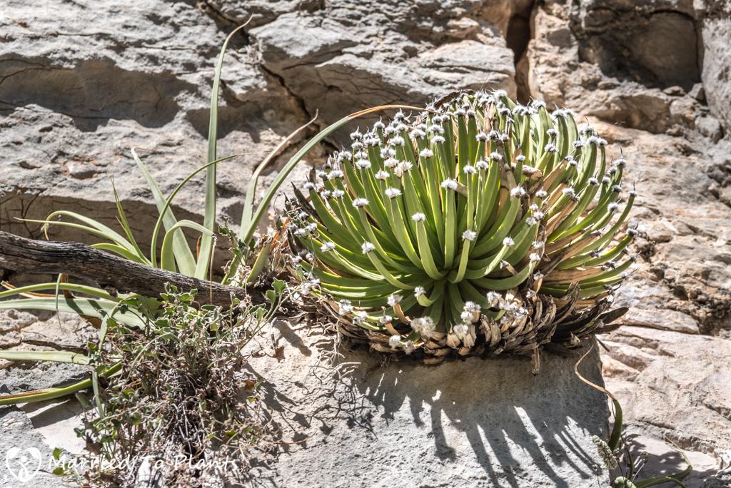 Huasteca Canyon - Agave albopilosa