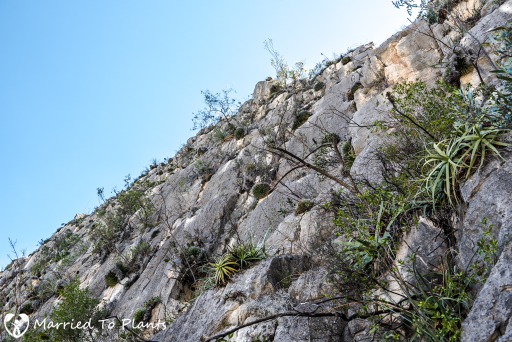 Huasteca Canyon Agave albopilosa on Limestone Cliff