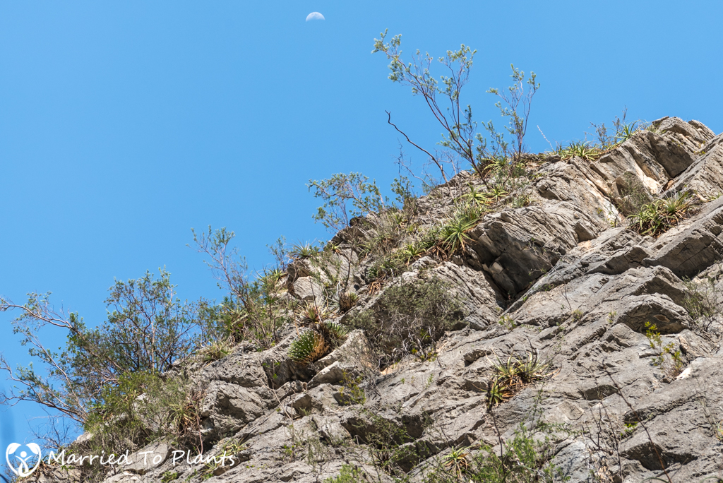 Huasteca Canyon Agave albopilosa on Limestone Cliff with Moon