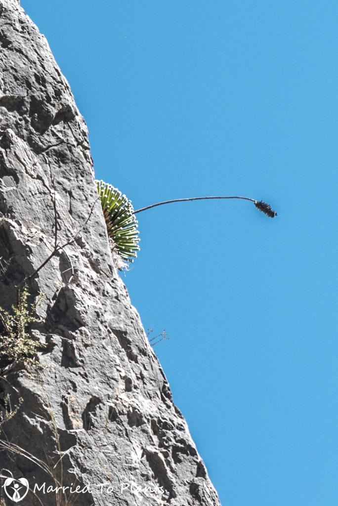 Huasteca Canyon - Agave albopilosa and Old flower