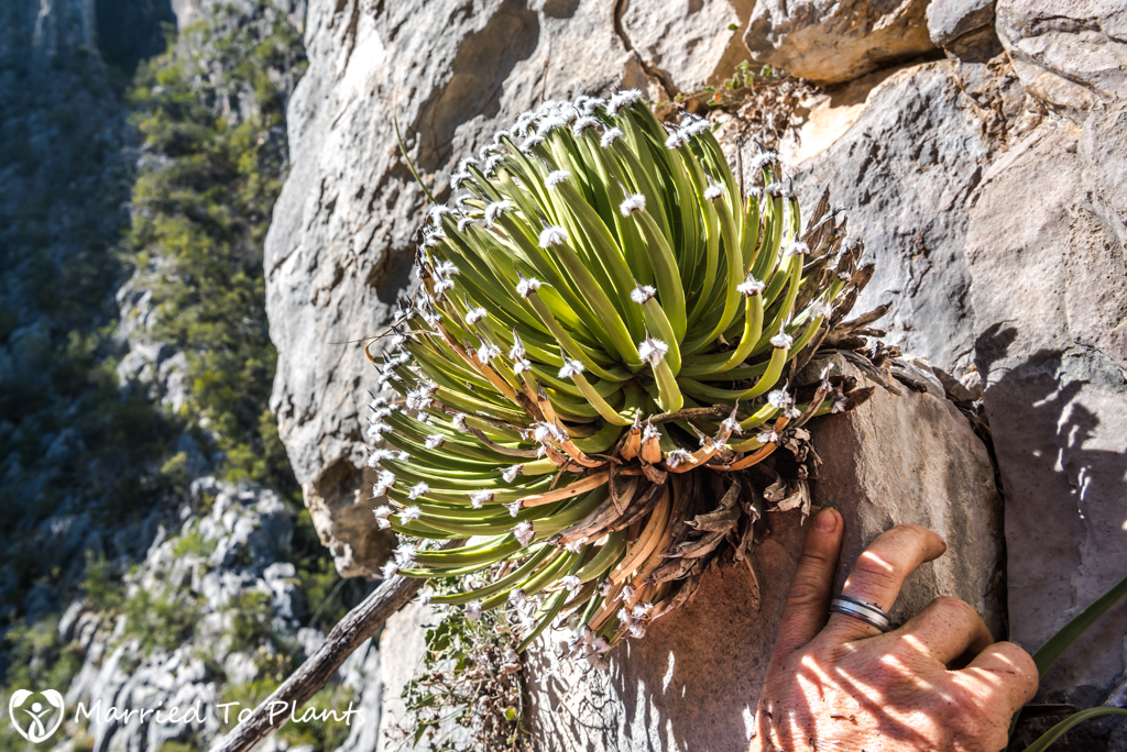 Huasteca Canyon - Agave albopilosa with Scale