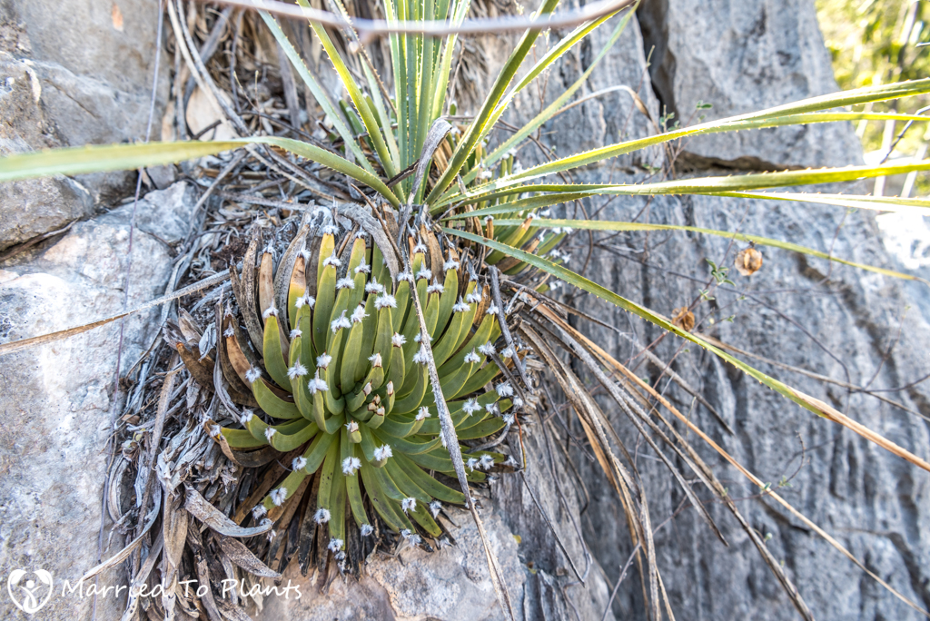 Huasteca Canyon - Agave albopilosa on Cliff