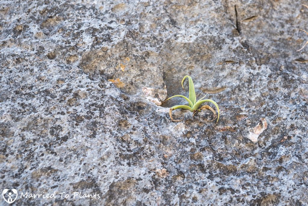 Huasteca Canyon - Agave bracteosa Seedling