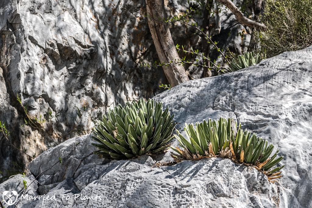 Huasteca Canyon - Agave victoriae-reginae