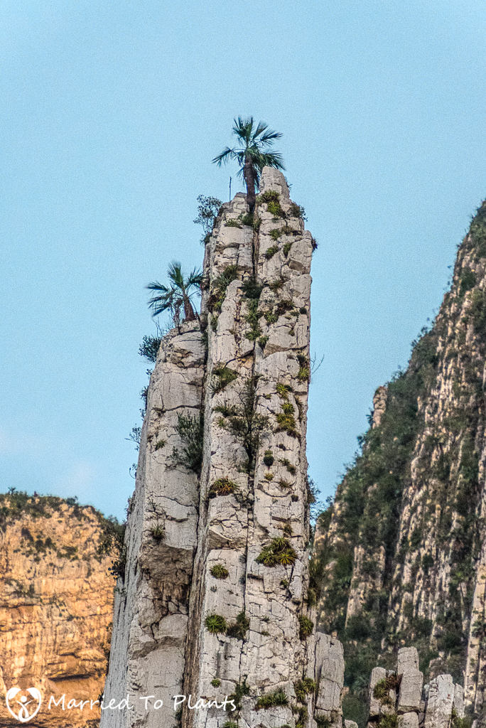 Huasteca Canyon - Brahea berlandieri