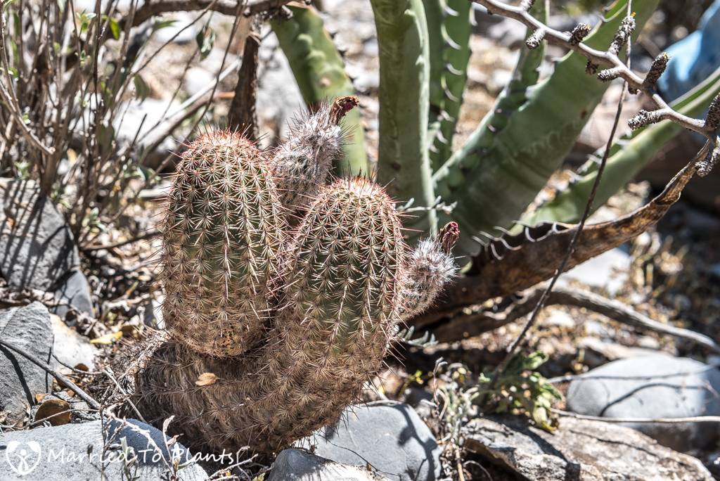 Huasteca Canyon - Echinocereus fitchii var. armatus