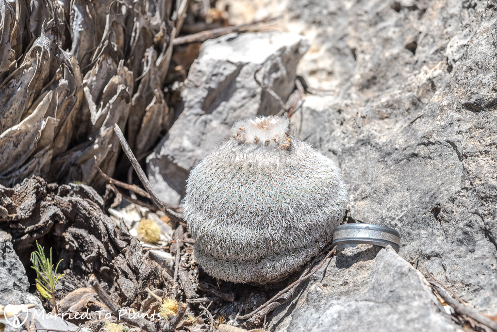 Huasteca Canyon - Epithelantha unguispina ssp. huastecana