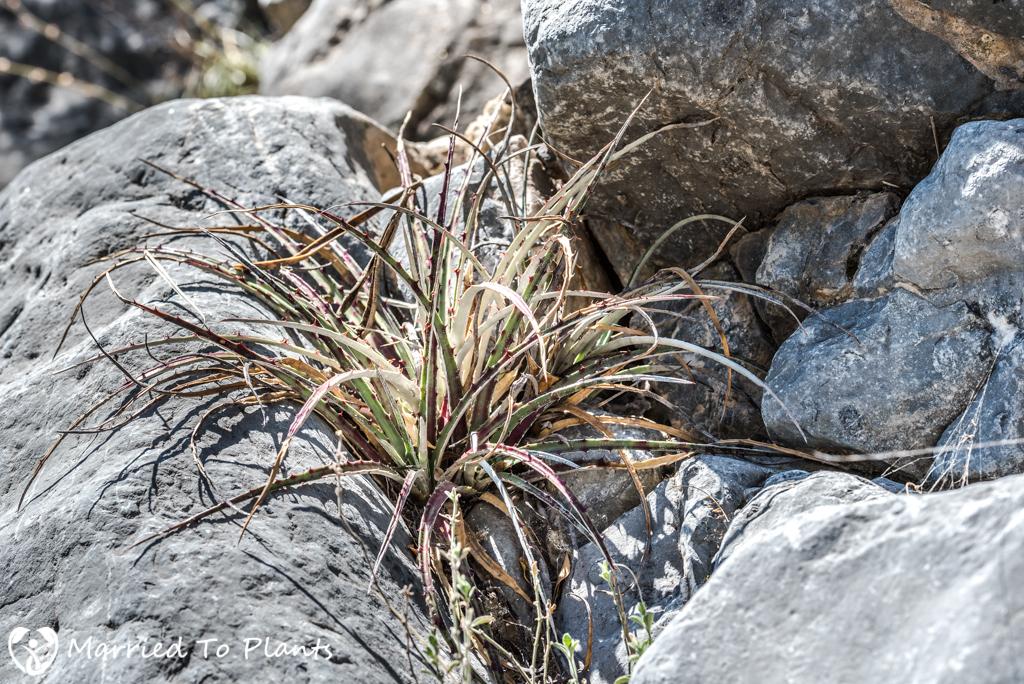 Huasteca Canyon - Hechtia texensis