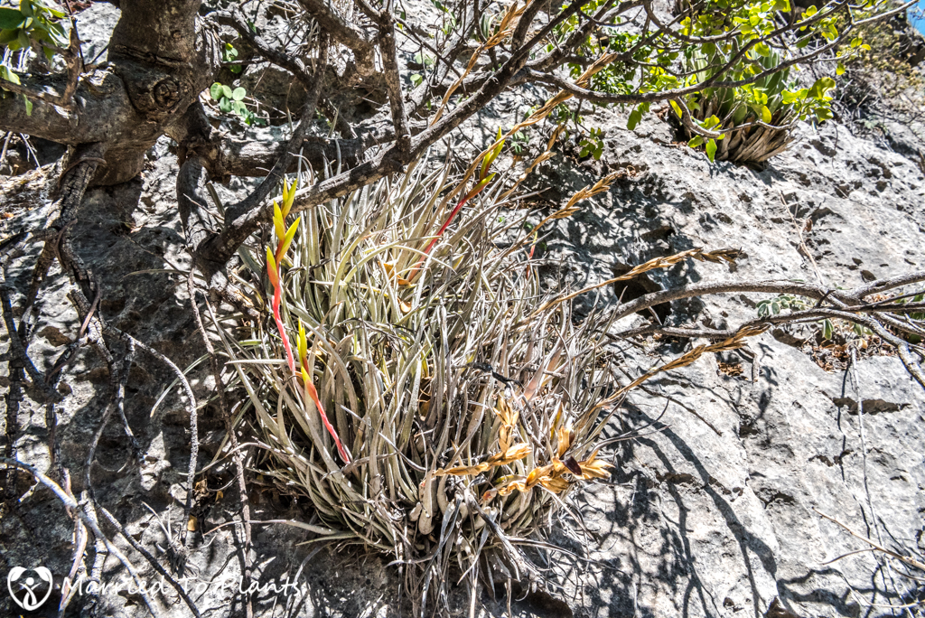 Huasteca Canyon - Tillandsia karwinskiana