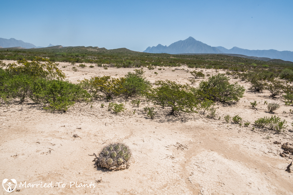 Camouflage - Ariocarpus kotschoubeyanus Habitat