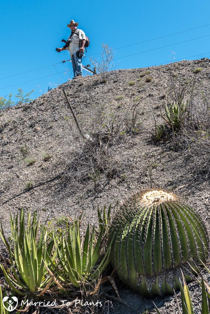 Camouflage - Ariocarpus scapharostrus and Echinocactus platyacanthus