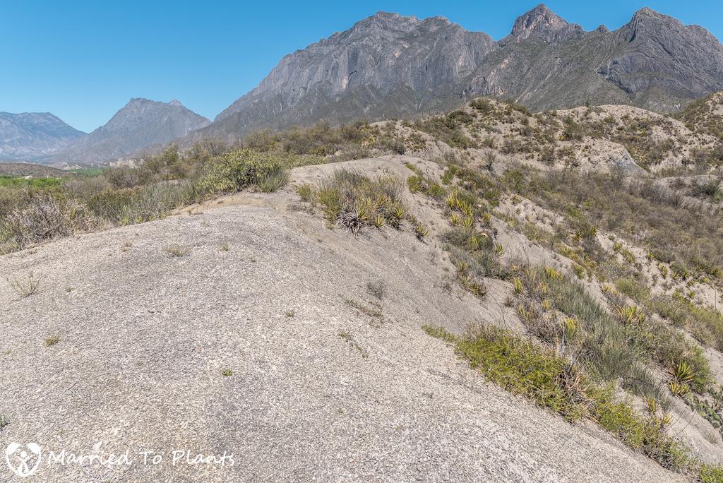 Camouflage - Ariocarpus scapharostrus Habitat