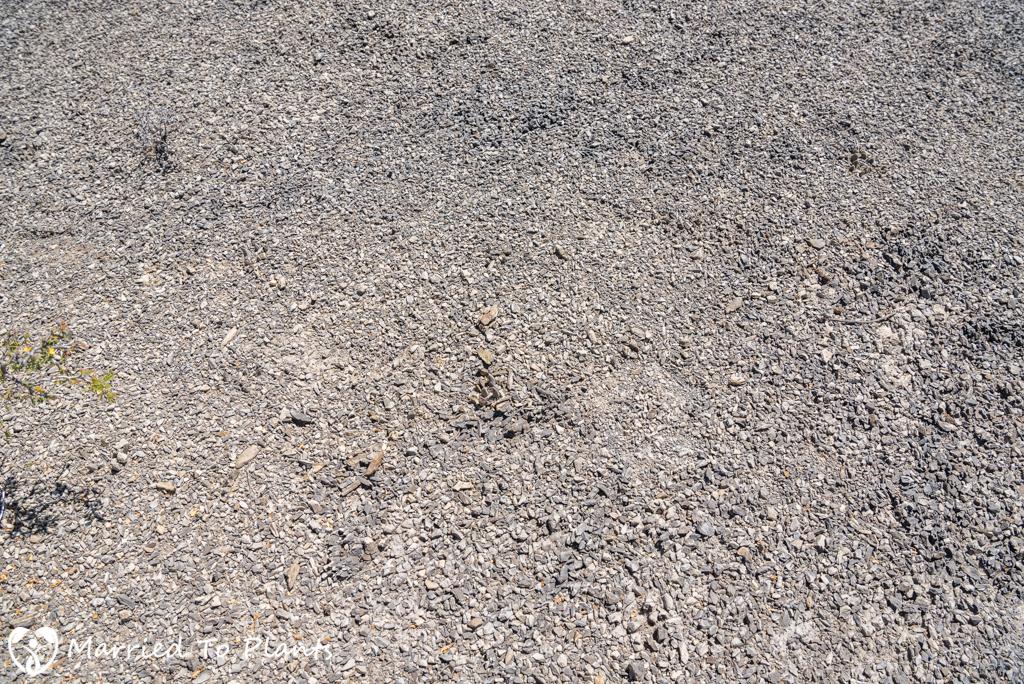 Camouflage - Ariocarpus scapharostrus in Limestone Shale
