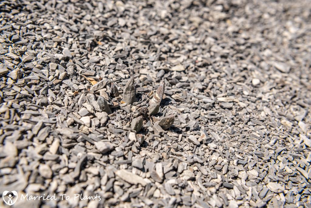 Camouflage - Ariocarpus scapharostrus