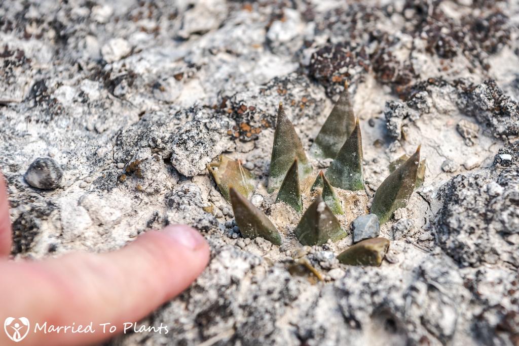 Camouflage - Ariocarpus trigonus