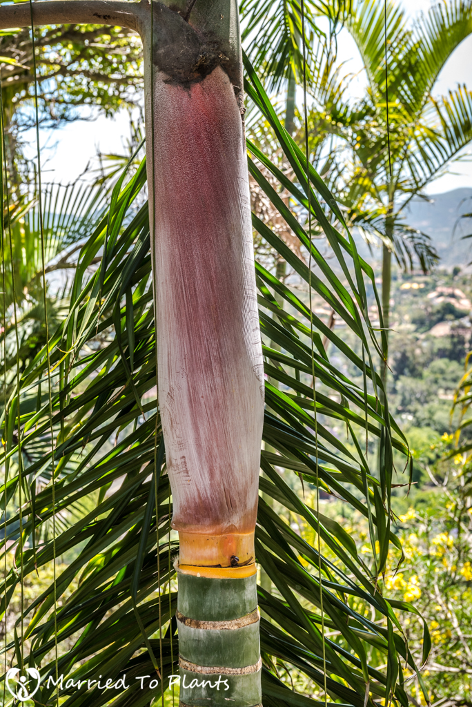 Greg Hamann - Dypsis pilulifera Crownshaft
