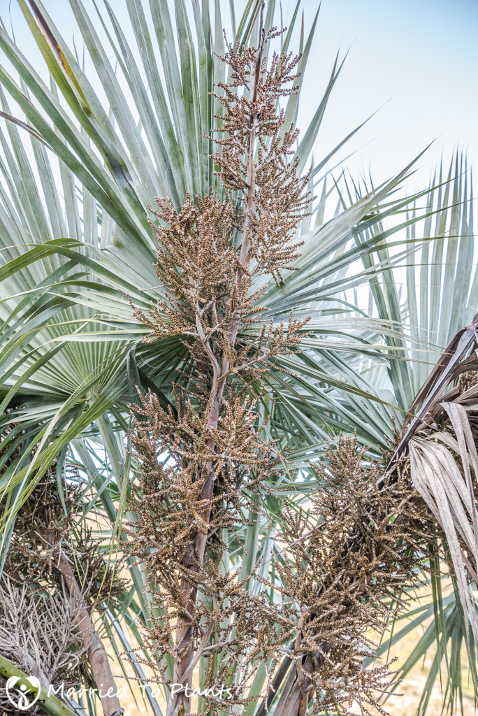Gypsum Outcrops - Brahea dulcis Flower