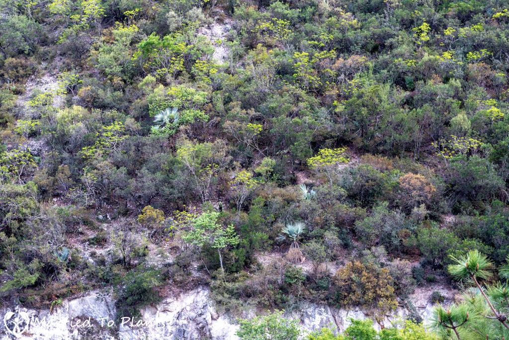 Gypsum Outcrops - Brahea dulcis Hillside