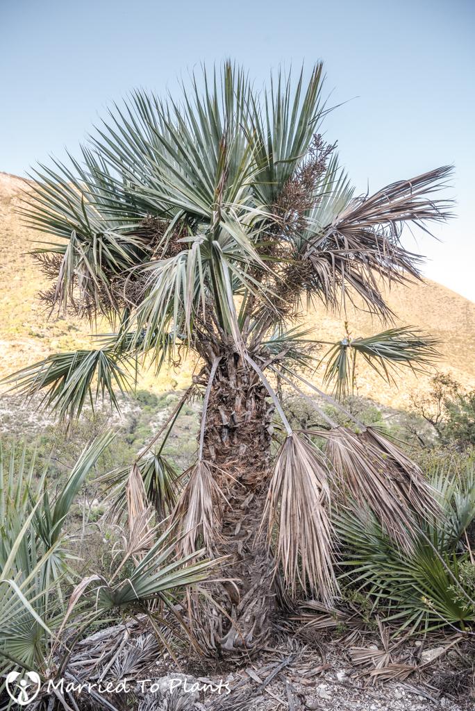 Gypsum Outcrops - Brahea dulcis