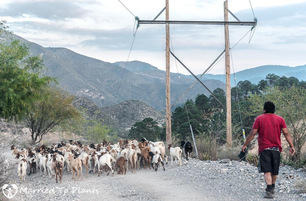 Gypsum Outcrops - Goat Herder