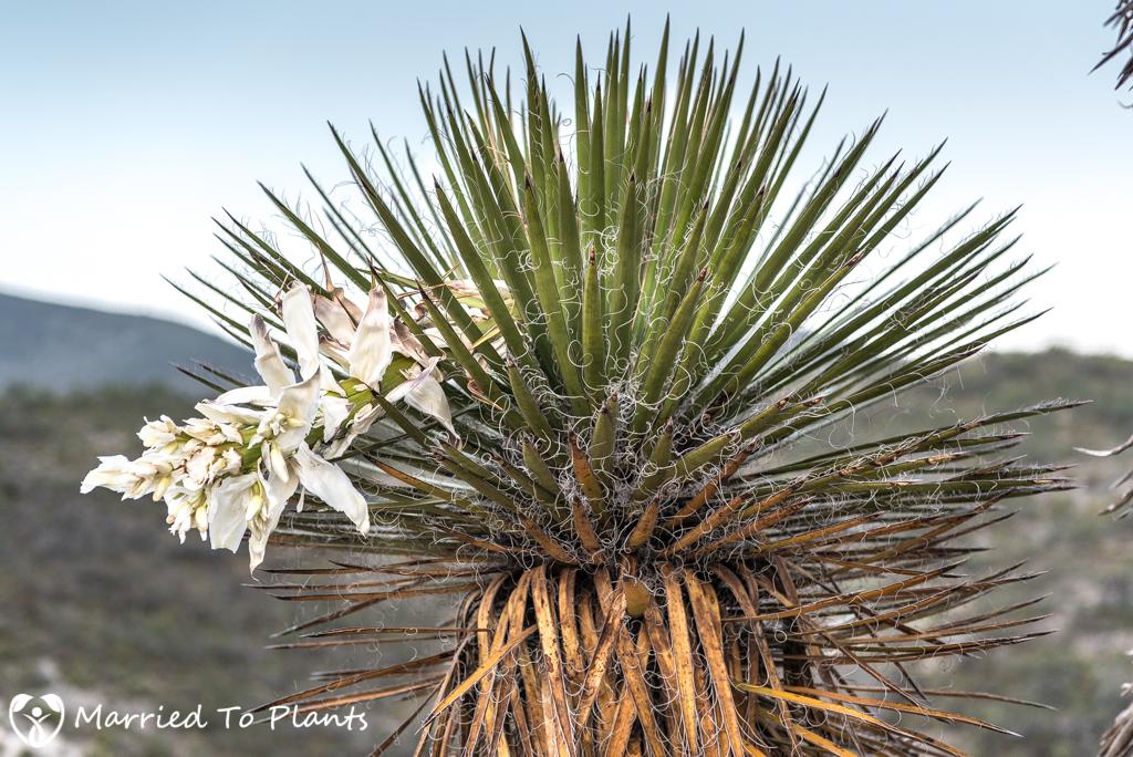 Gypsum Outcrops - Yucca carnerosana Flower