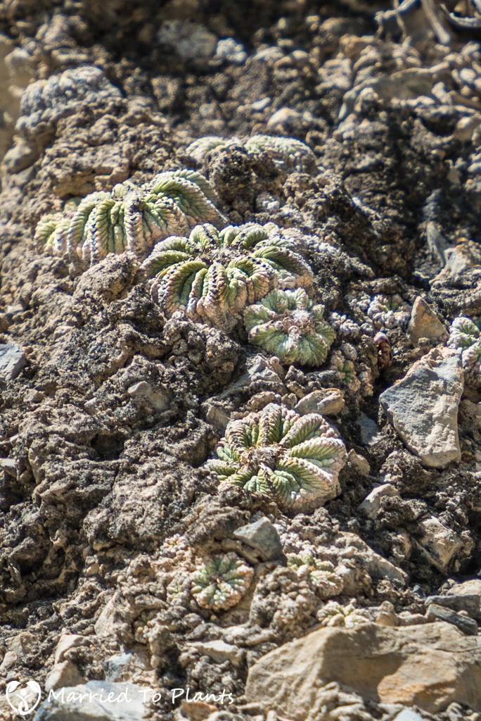 Mexican Cactus - Aztekium ritterii