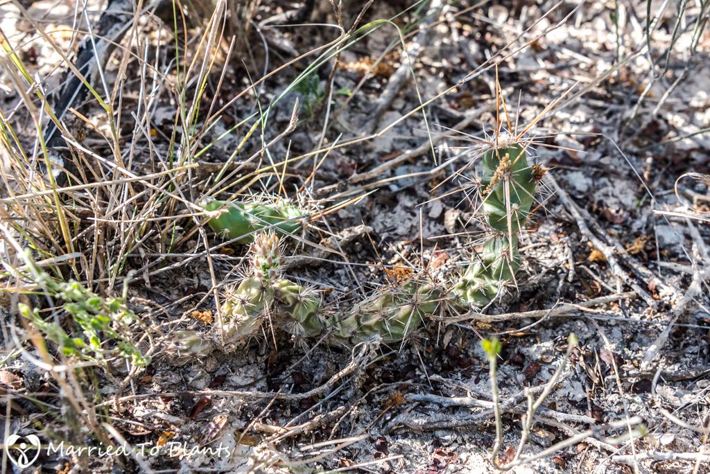 Mexican Cactus - Corynopuntia schottii