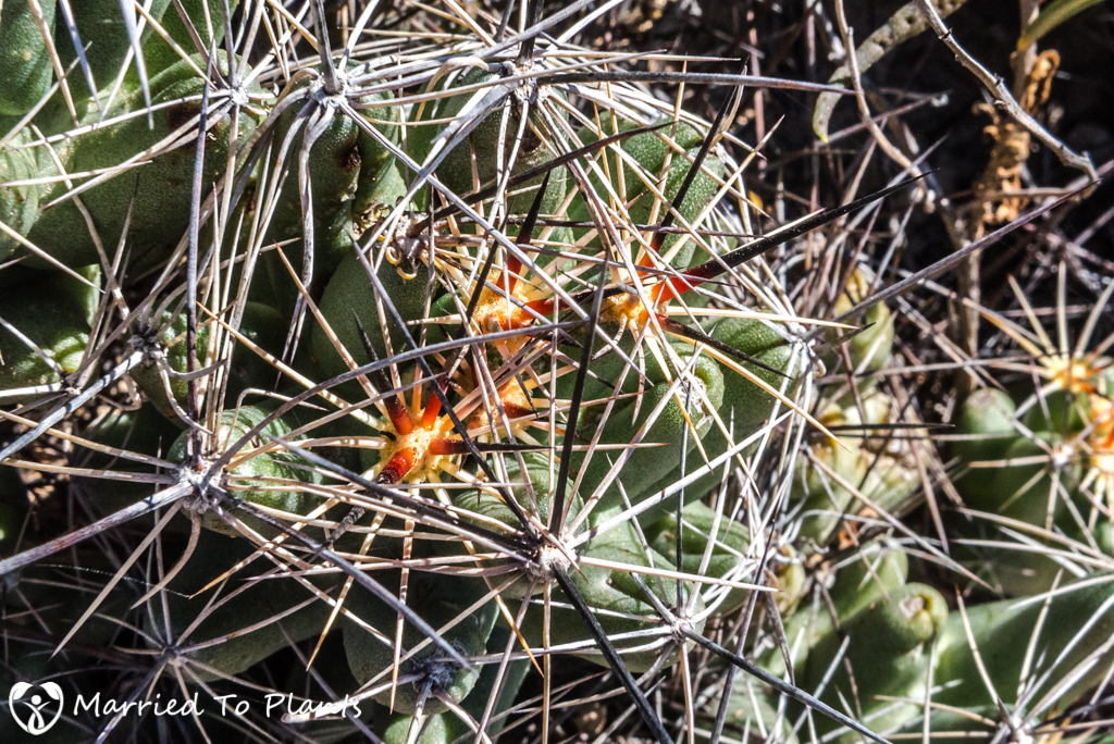Mexican Cactus - Coryphantha macromeris Spines