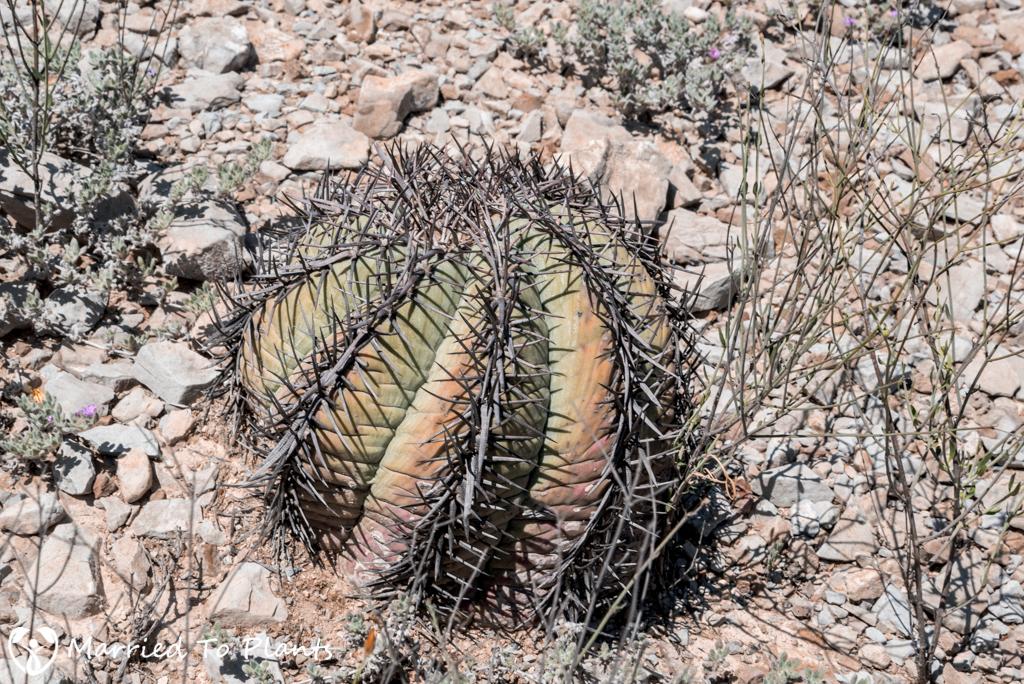 Mexican Cactus - Echinocactus horizonthalonius