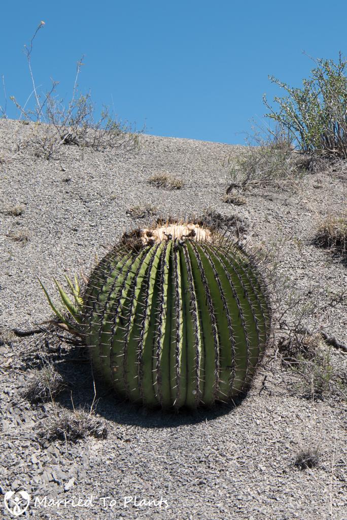 Mexican Cactus - Echinocactus platyacanthus