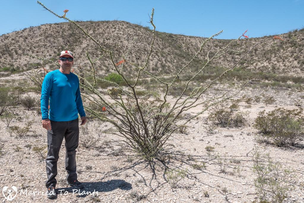 Mexican Cactus - Fouquieria splendens