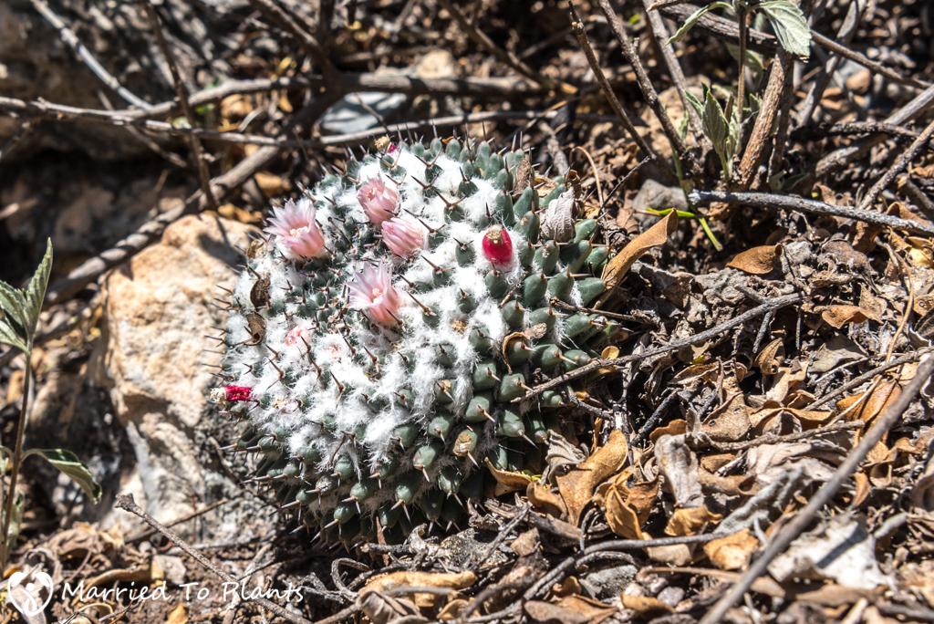 Mexican Cactus -Mammillaria chionocephala