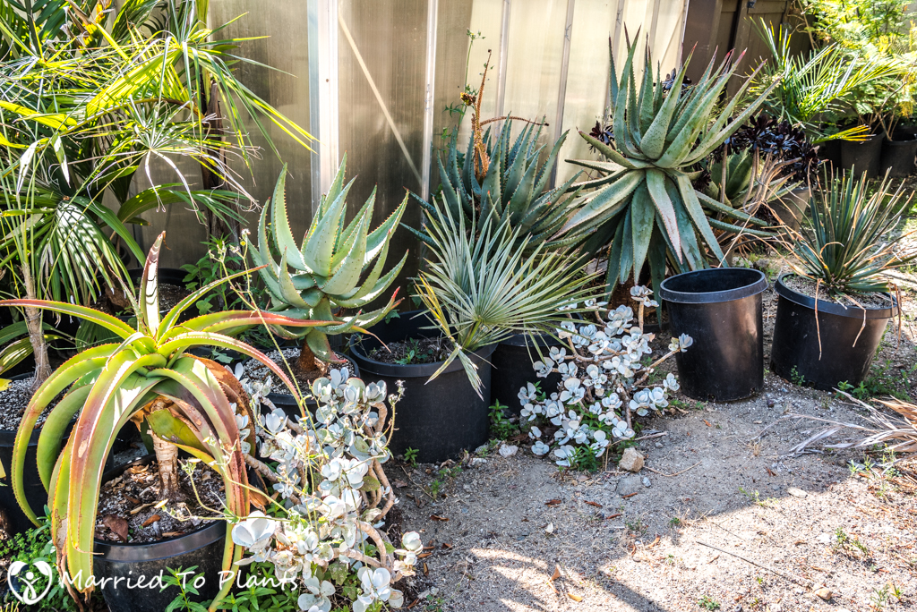 Summer Garden Project - Aloe Plantings