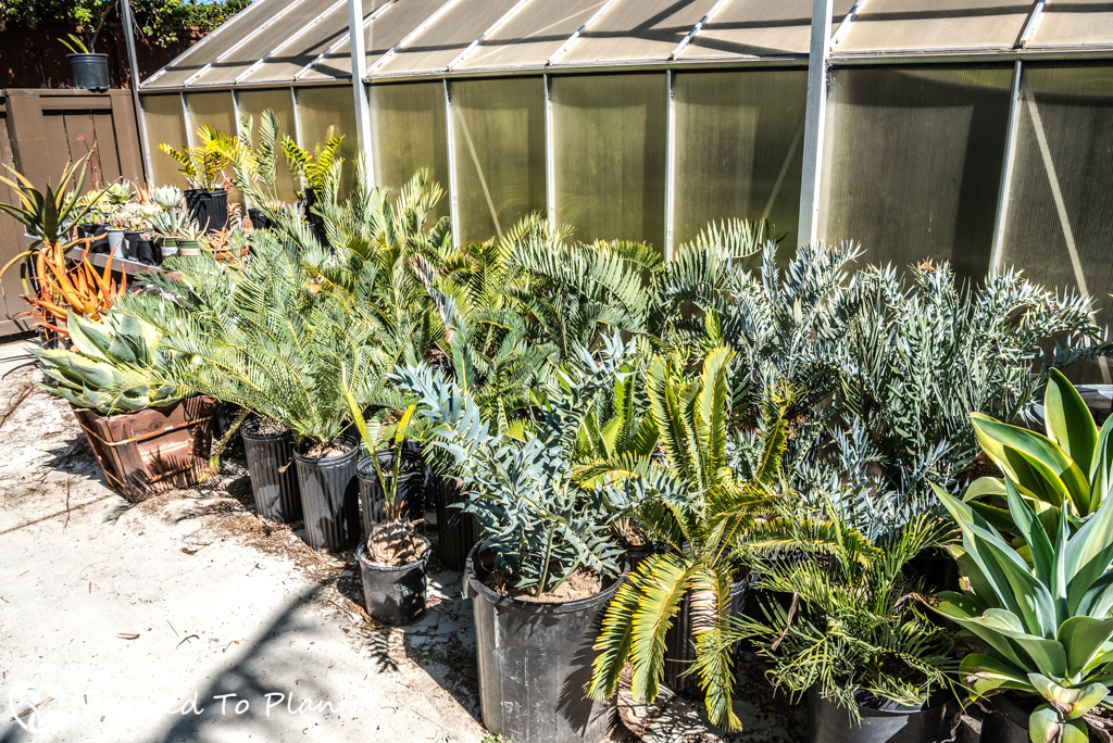 Summer Garden Project - Cycad Plantings