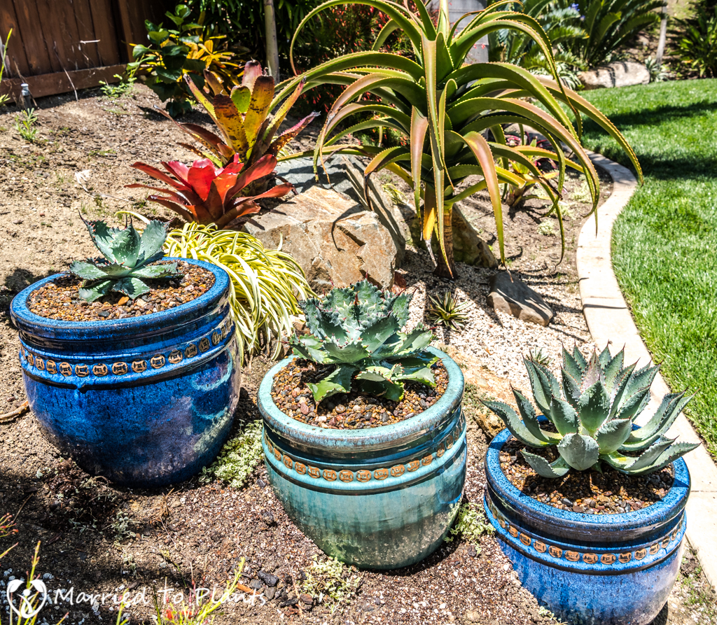 Agave Pots - Agave isthmensis Hybrids