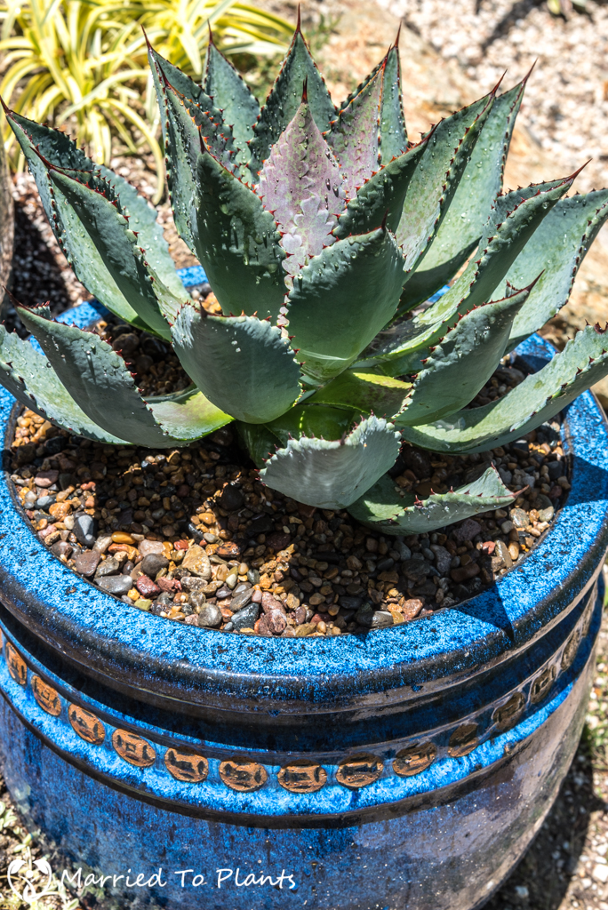 Agave Pots - Agave isthmensis x Mangave 'Bloodspot'