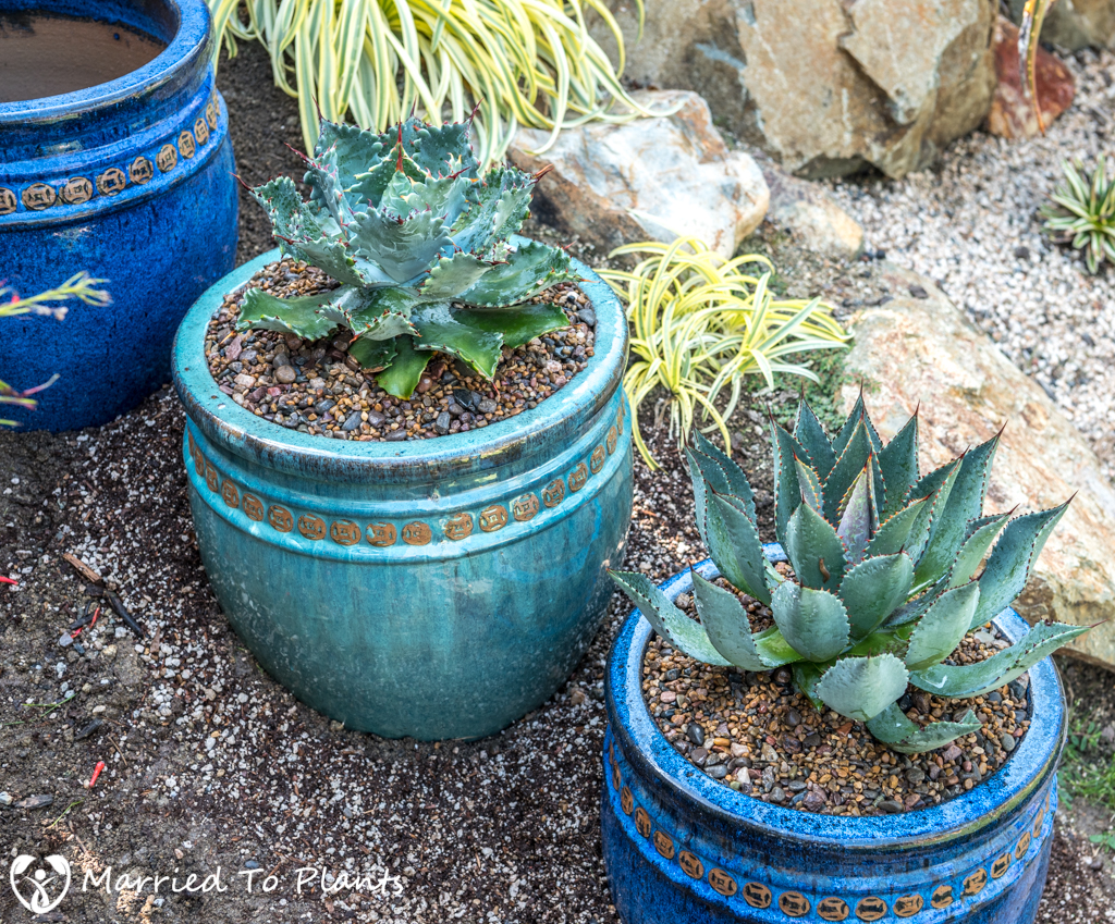 Agave Pots - Two Down
