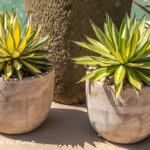 Putting agaves in pots to make them stand out in the landscape