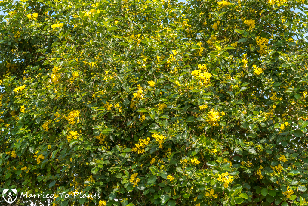 Cordia lutea (Yellow Geiger Tree) - Dense Shrub/Tree
