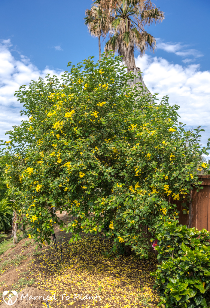 Cordia lutea (Yellow Geiger Tree) - Entire Plant