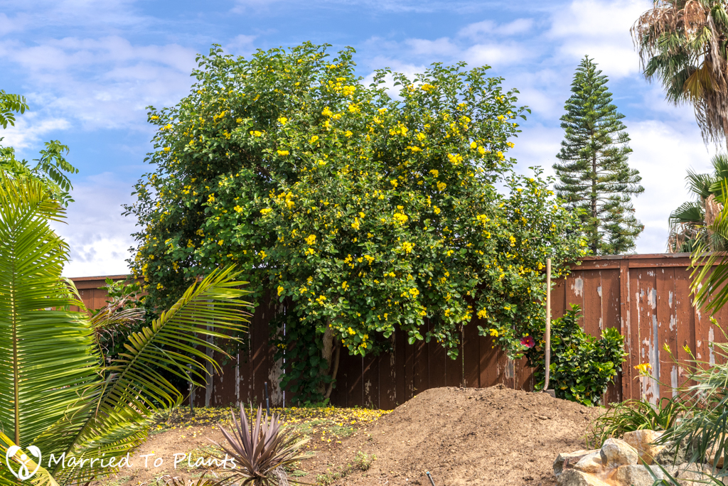 Cordia lutea (Yellow Geiger Tree) - Entire Plant