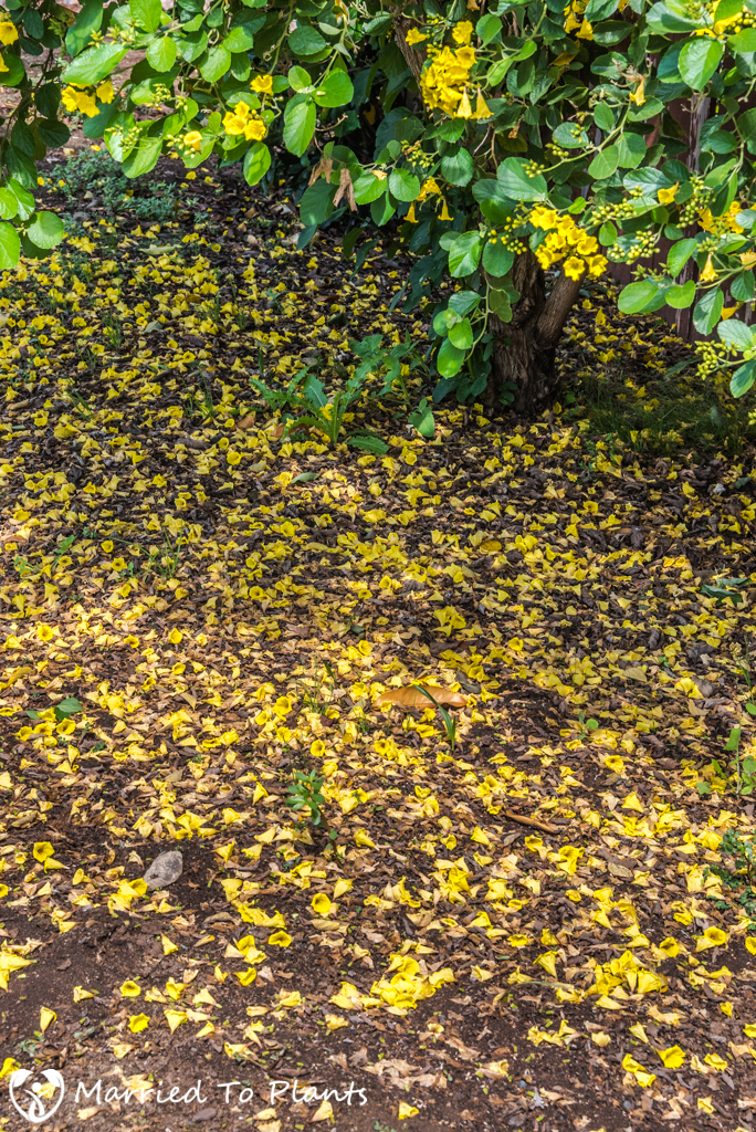 Cordia lutea (Yellow Geiger Tree) - Flower Litter
