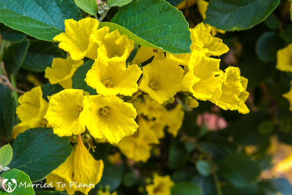 Cordia lutea (Yellow Geiger Tree) - Flowers